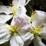 apple blossoms, flowers, Guy Sagi, Raeford, Hoke County, North Carolina