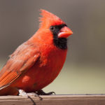 Bright red cardinal, Guy Sagi