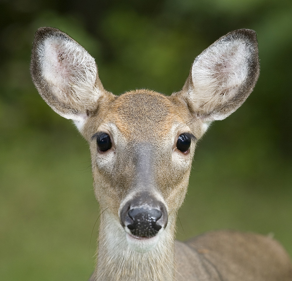 deer looking into the camera, Guy Sagi