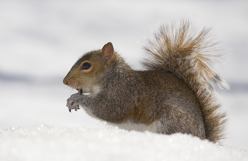 squirrel in the snow, Guy Sagi